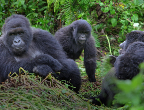 Gorilla and Chimp Safaris