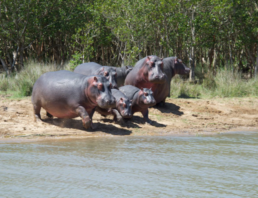 Video: Fun Facts about Hippos