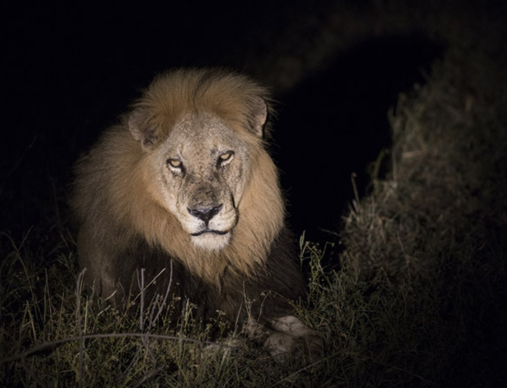 Photoseries: the night of the lion