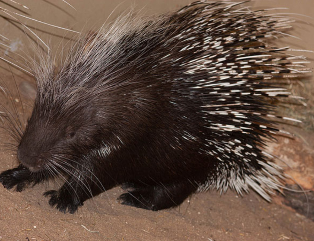 Video: criminal porcupine caught stealing!