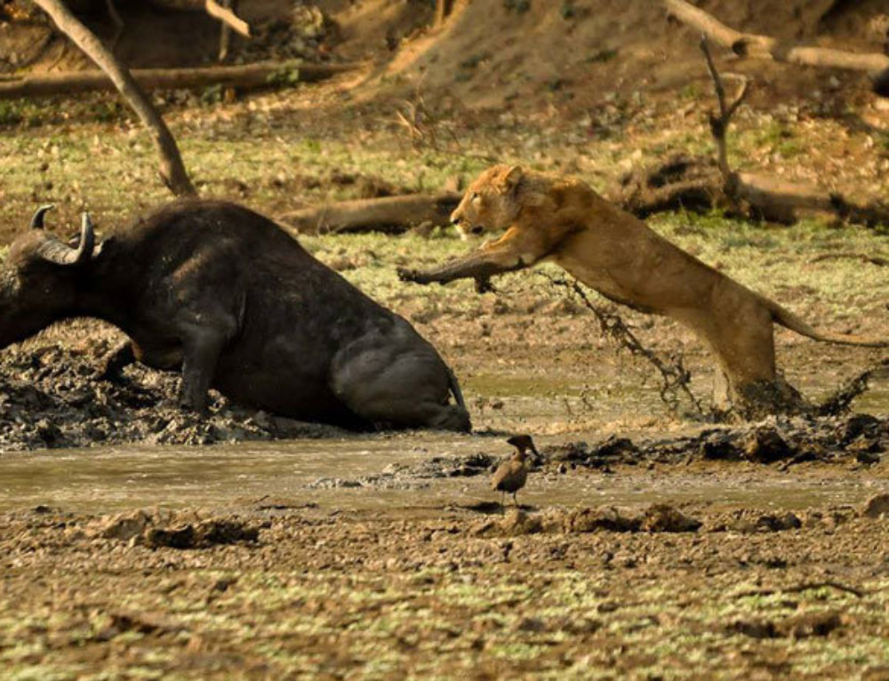 Video: a glimpse of life on safari in Zambia