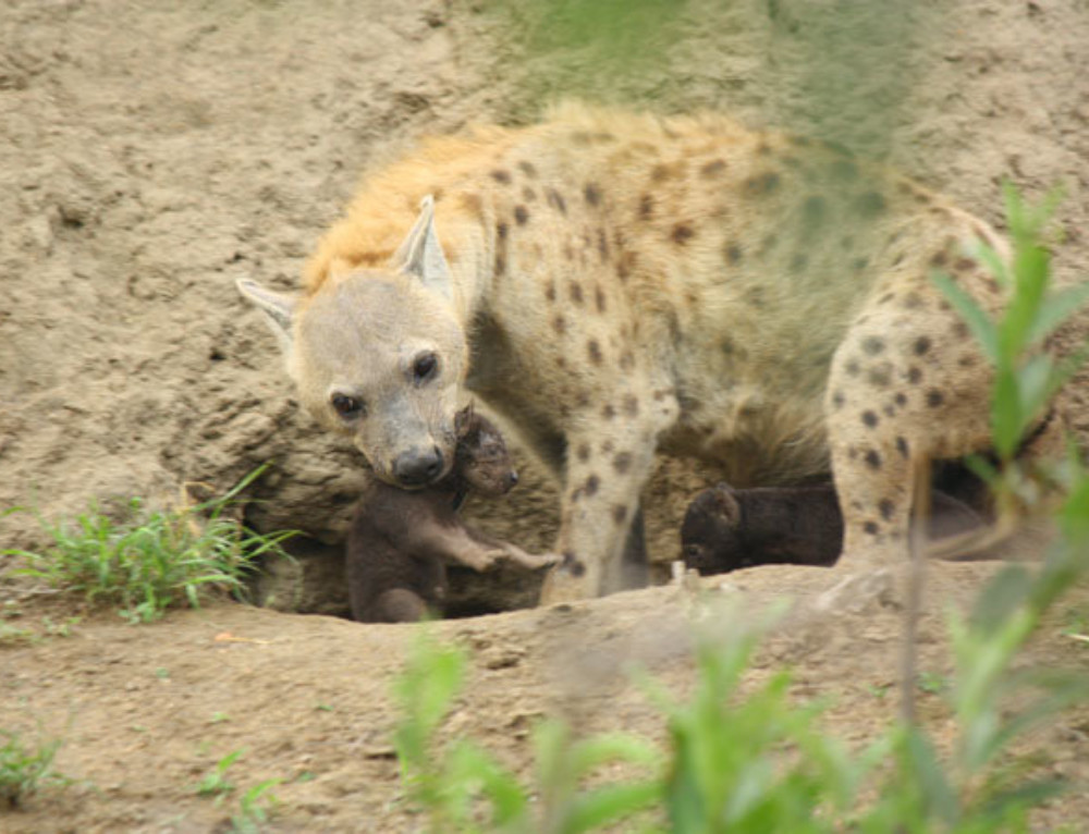 A watchful hyena mother and her cubs