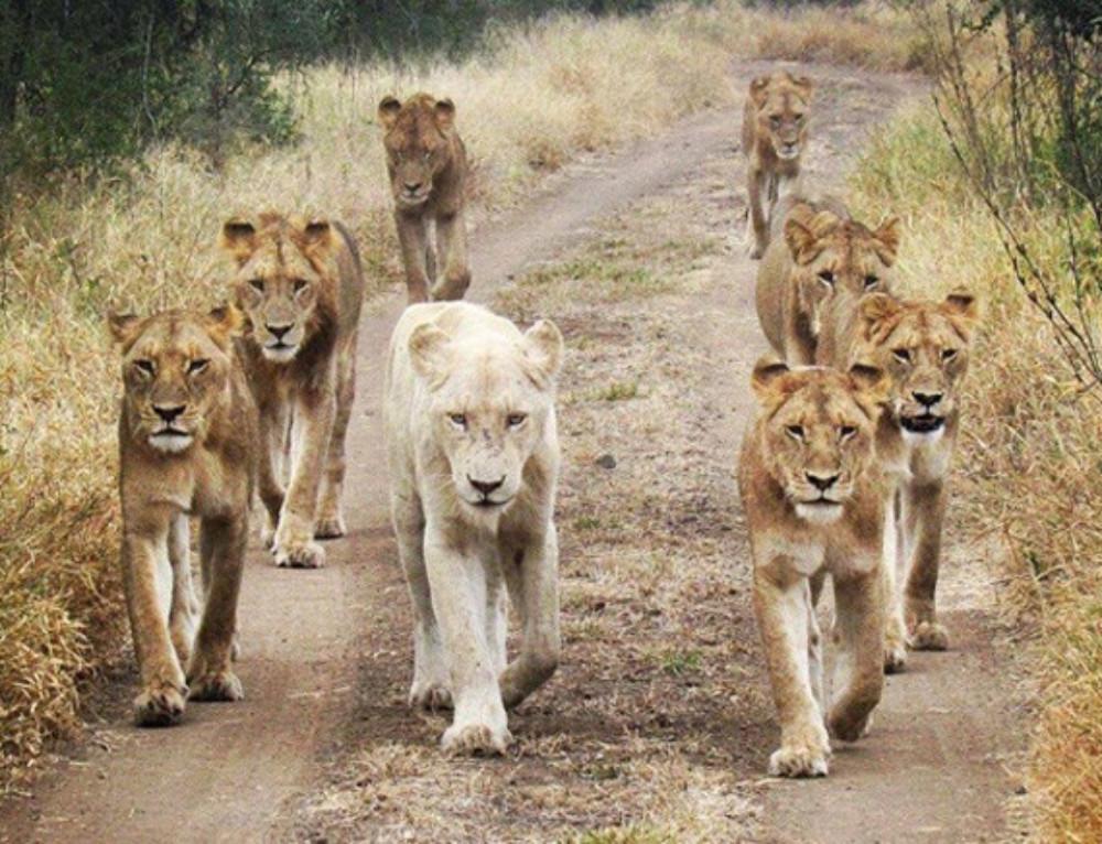 Kruger guest captures striking shot of Singita's white lion