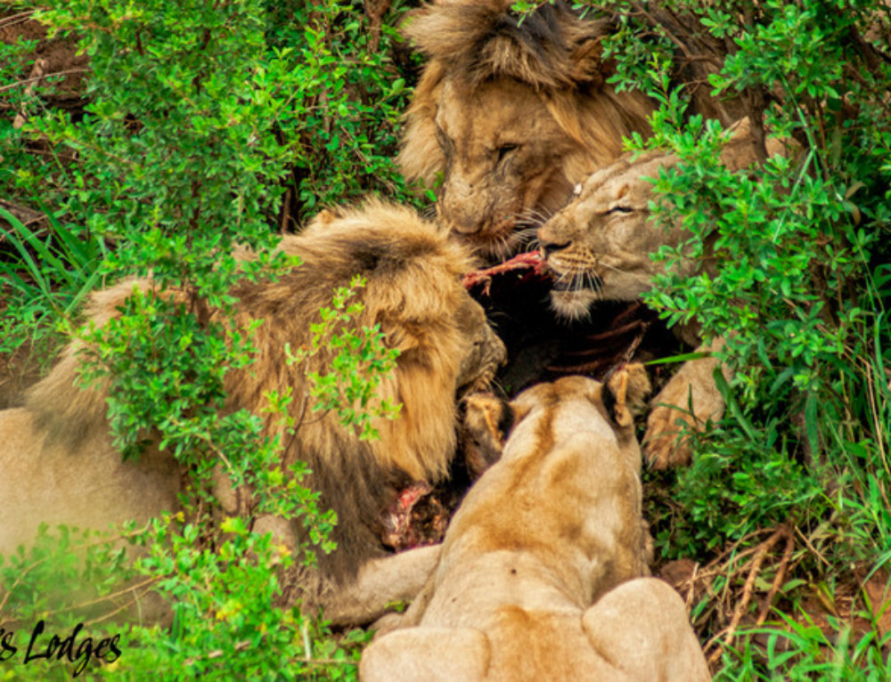 The mighty lion prides of Madikwe
