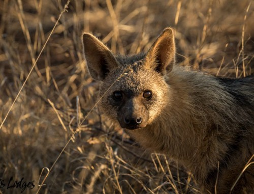A surprise encounter with an Aardwolf