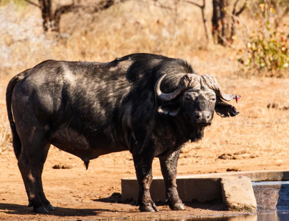 Unique sighting: Buffalo with a broken horn
