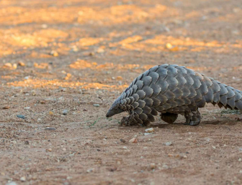 Protecting the precious pangolins