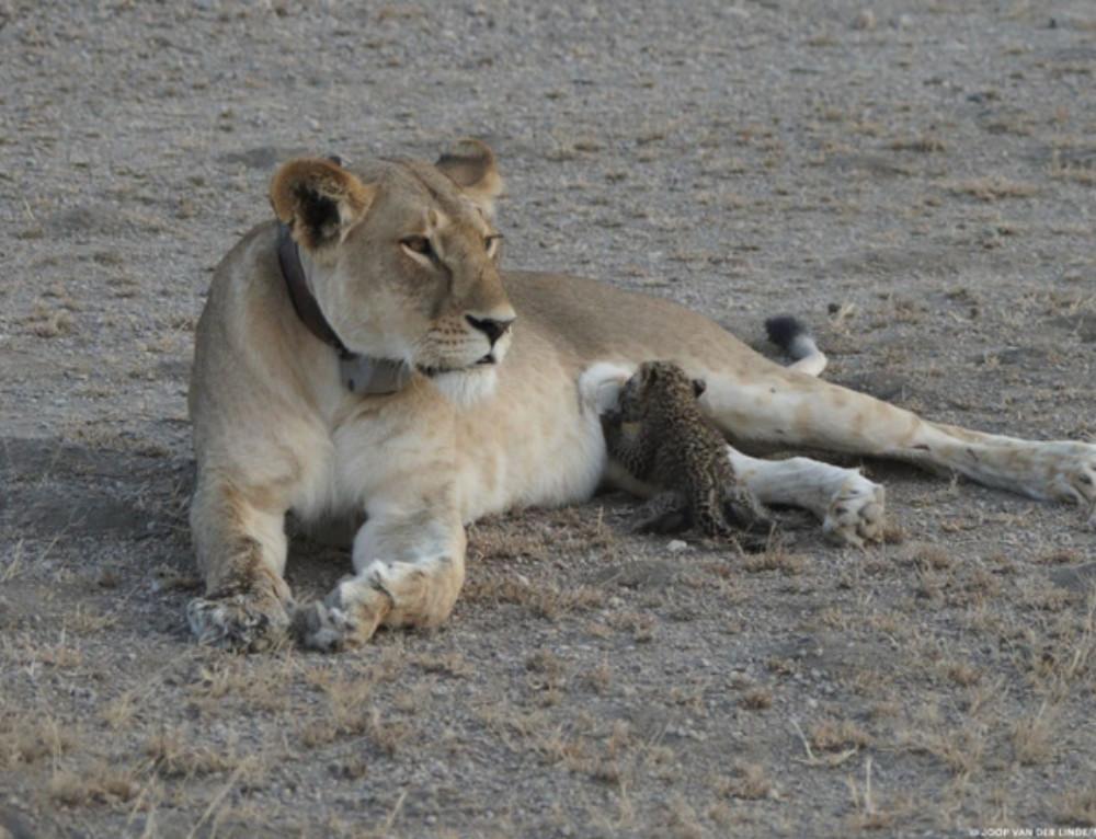 A wild lioness nursing a leopard cub