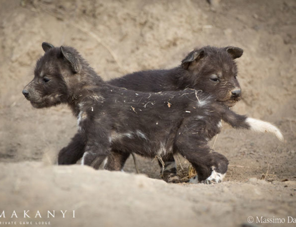 Video: Three-week-old wild dog pups