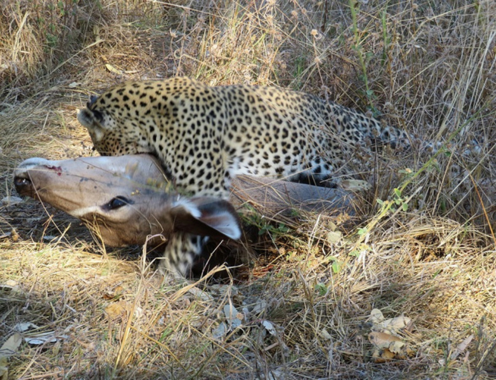 Leopard and her cubs share in Kudu feast