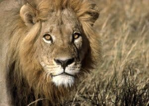 Where the Lions Roar (4 Days) | African Safaris with Taga