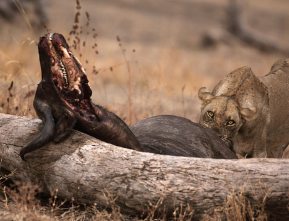 Video: Are carnivores kings of the wild?