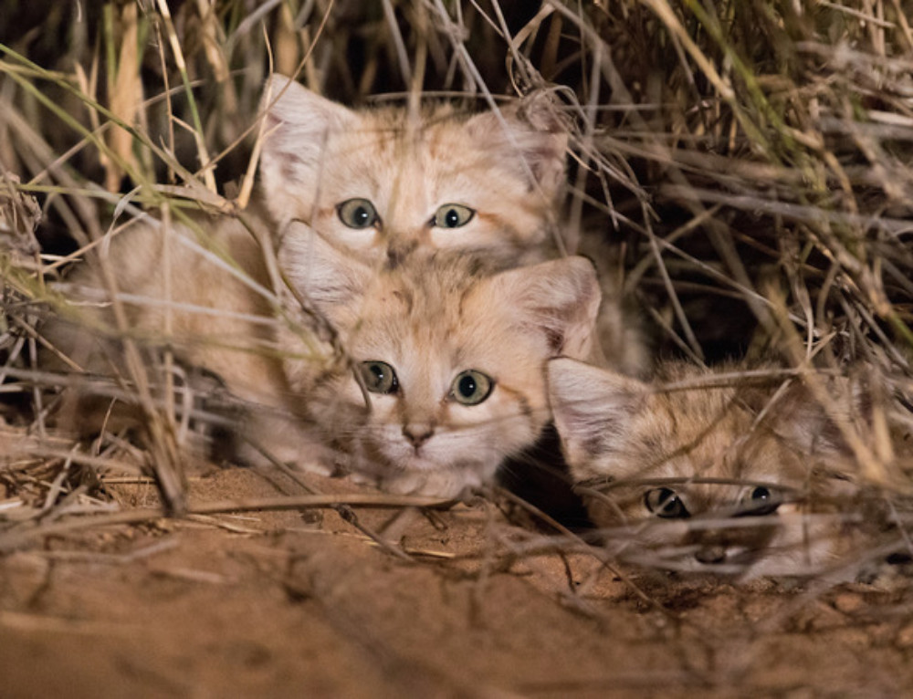 Video: Adorable sand cat kittens spotted for first time in wild