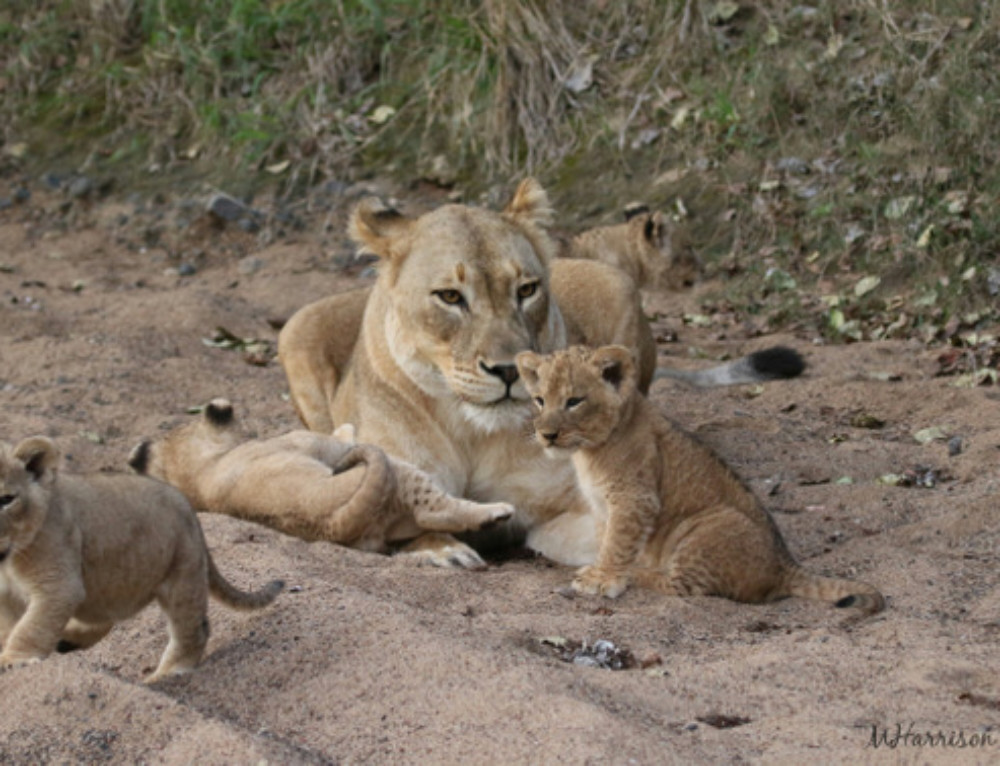 Video: The littlest of lion cubs