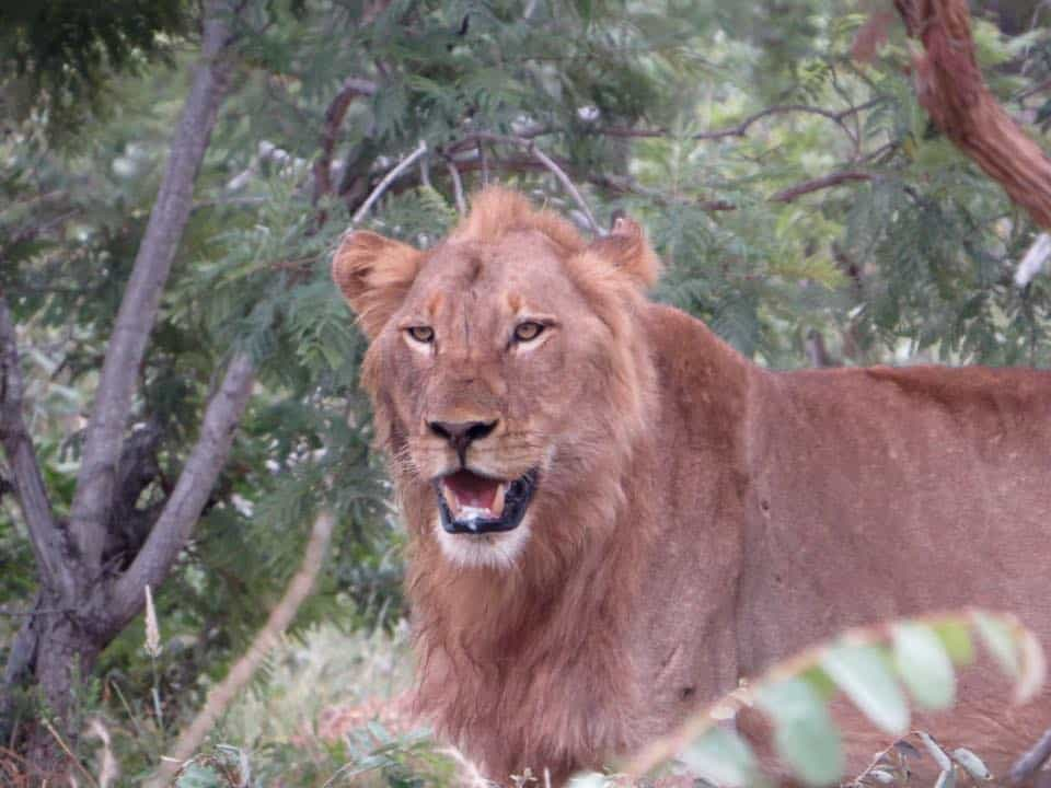 Lion action on the doorstep of Masungulo | African Safaris with Taga