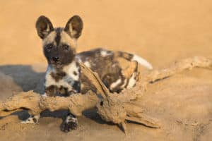 Interesting observances of the African Wild Dog's social behaviour | African Safaris with Taga