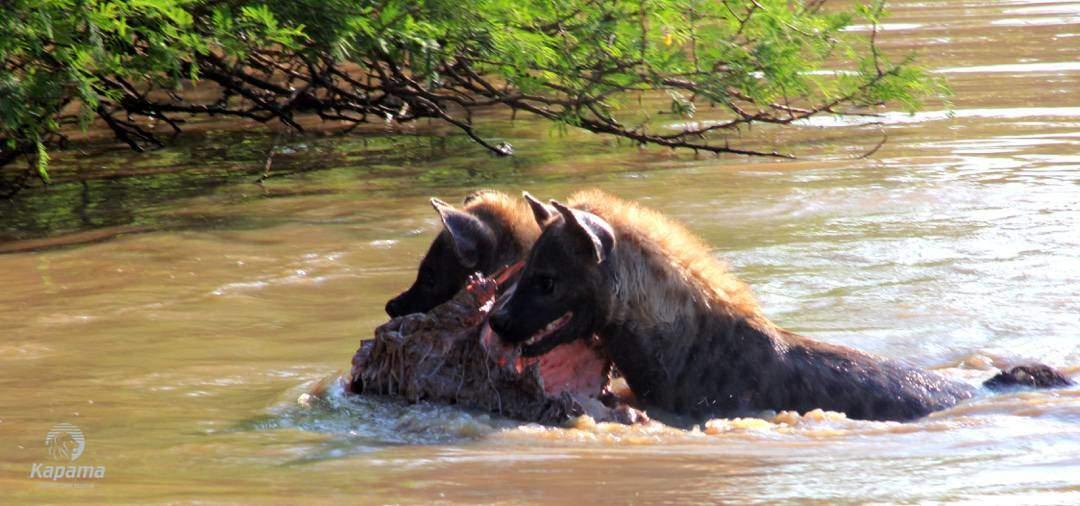 The Fight For Food | Taga Safaris