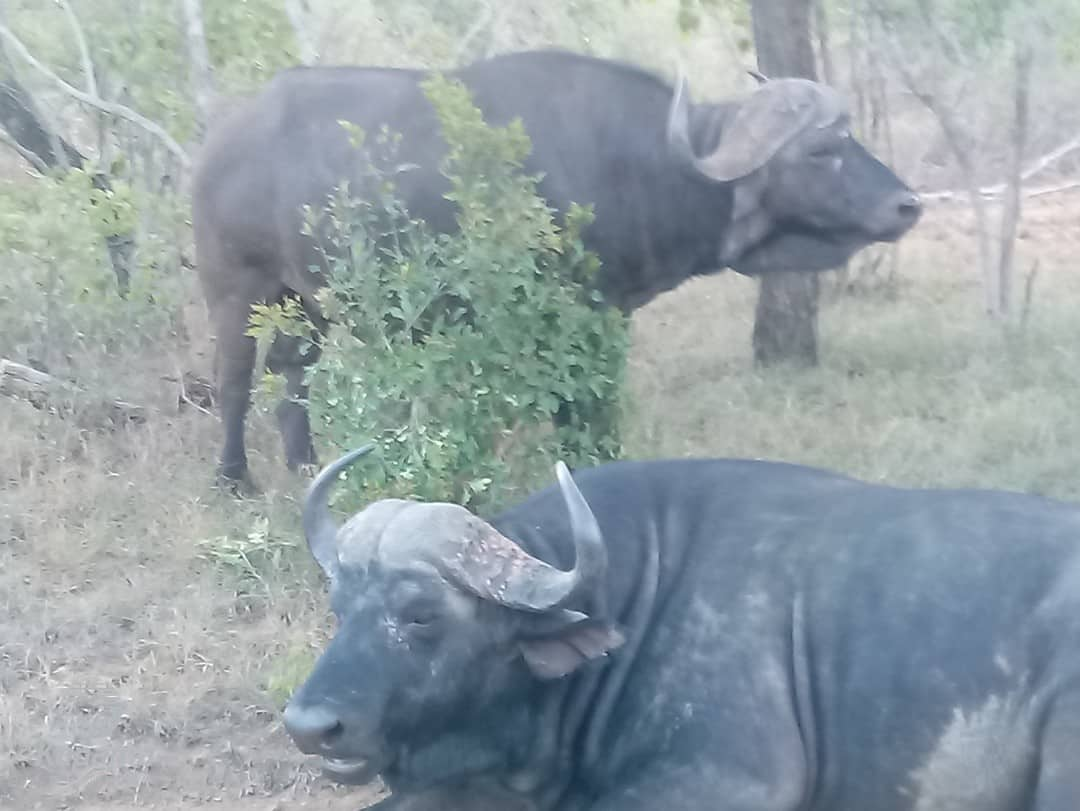 The Dagga Boys of Kapama | African Safaris with Taga