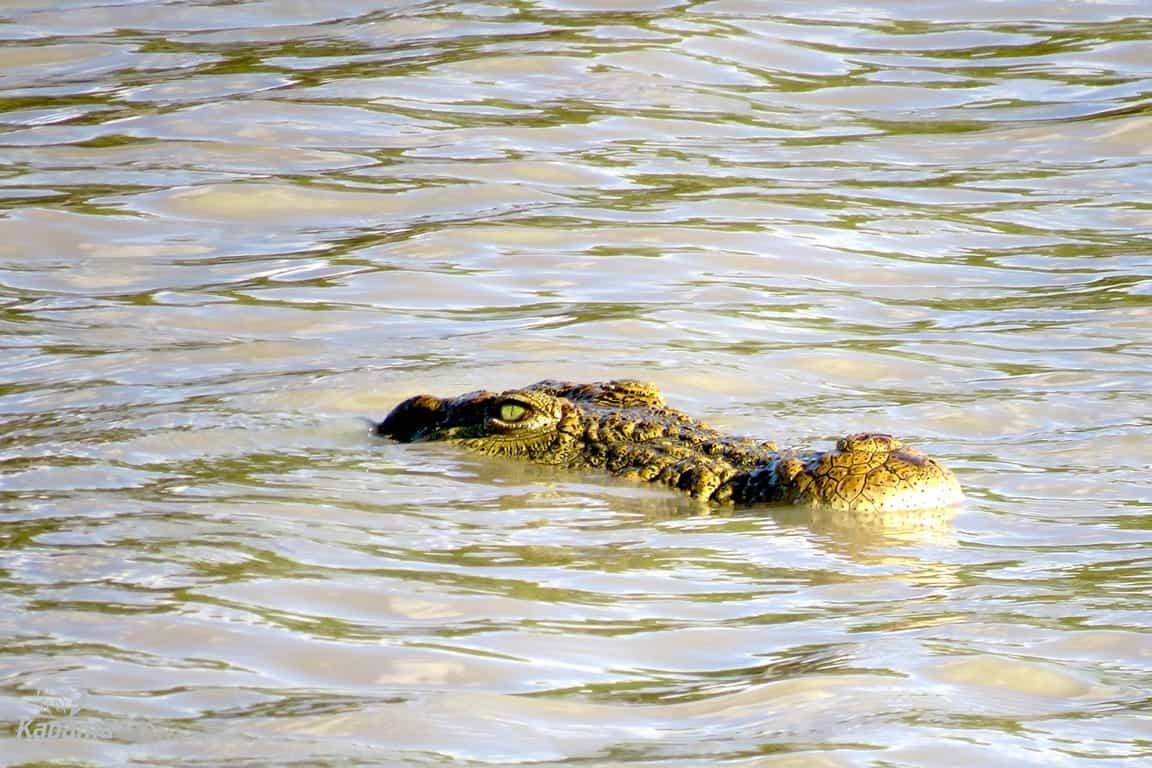 Crocodile Surprise | African Safari with Taga