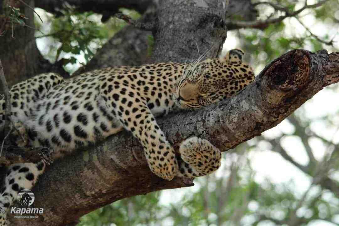 Relaxed Leopard Tracking | Taga Safaris