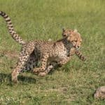 Cheetah sightings at Makanyi | African Safaris with Taga