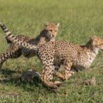 Cheetah sightings at Makanyi | African Safaris with Taga
