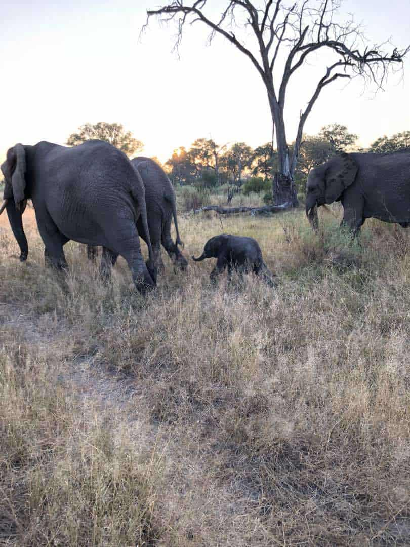 Two Calves are Better than One | African Safaris with Taga