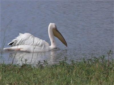 Pelican Marks Three Years at Hwanges Big Sam | African Safari with Taga