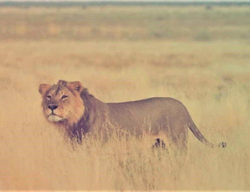 Lion Power Play at Kalahari Plains