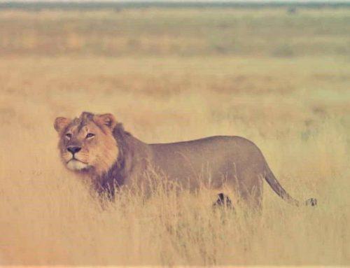 Lion Power Play at Kalahari Plains