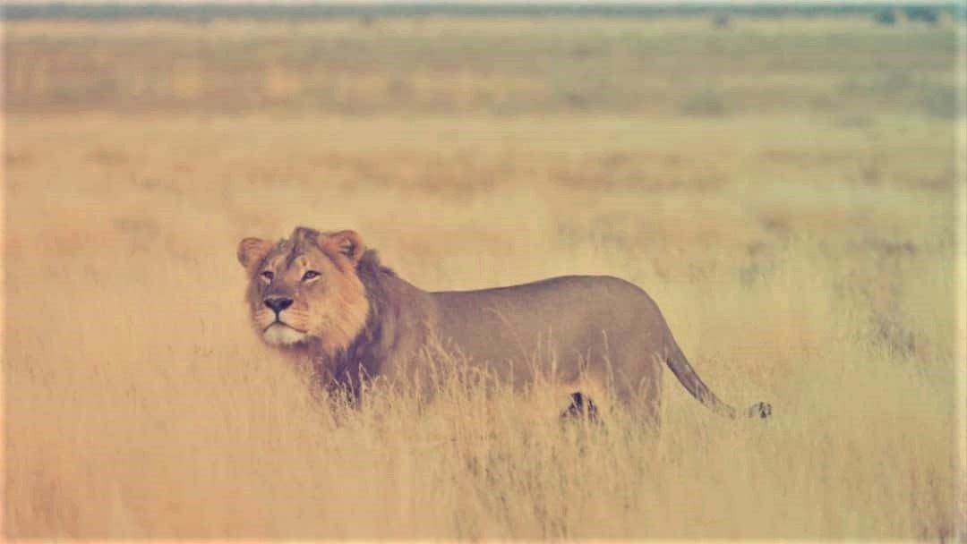 Lion Power Play at Kalahari Plains | Taga Safaris