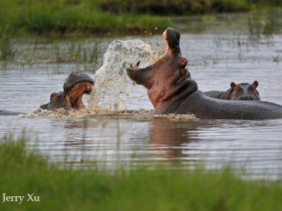hippos masai mara