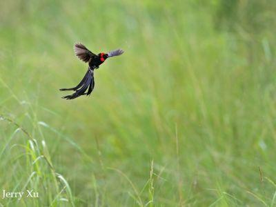 Jackson widow bird