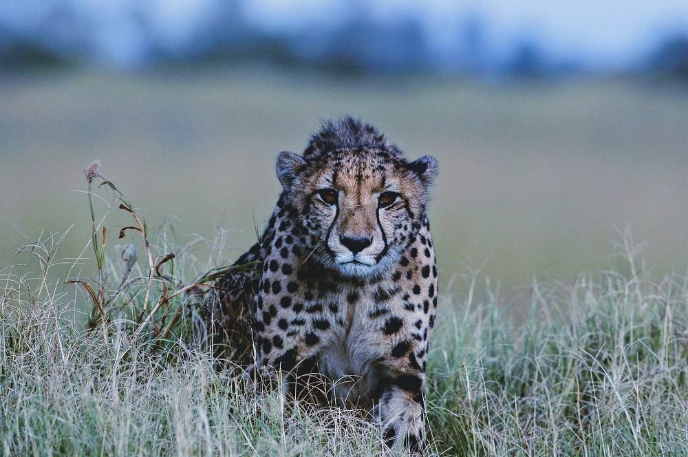 Return to Mombo Familiar Faces | African Safaris with Taga