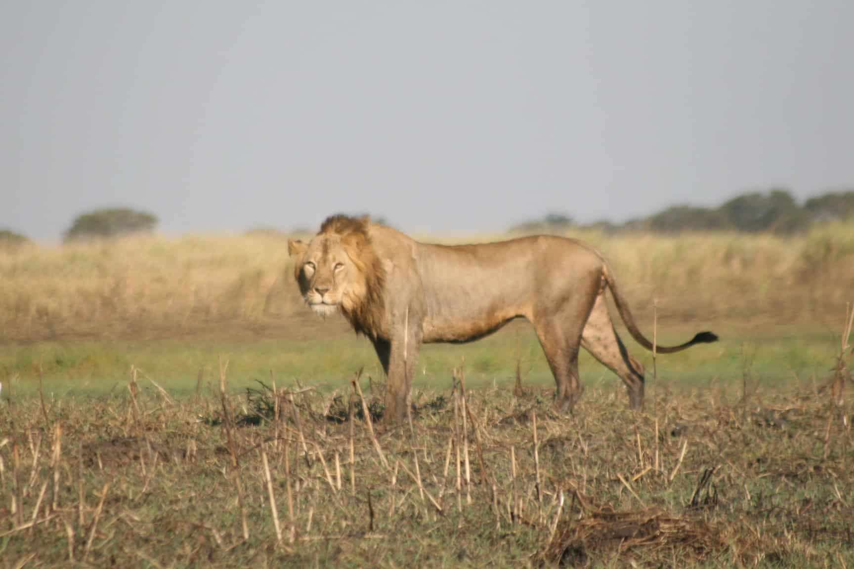 Battle Royal for Lion Dominance in the Busanga Plains | African Safaris with Taga
