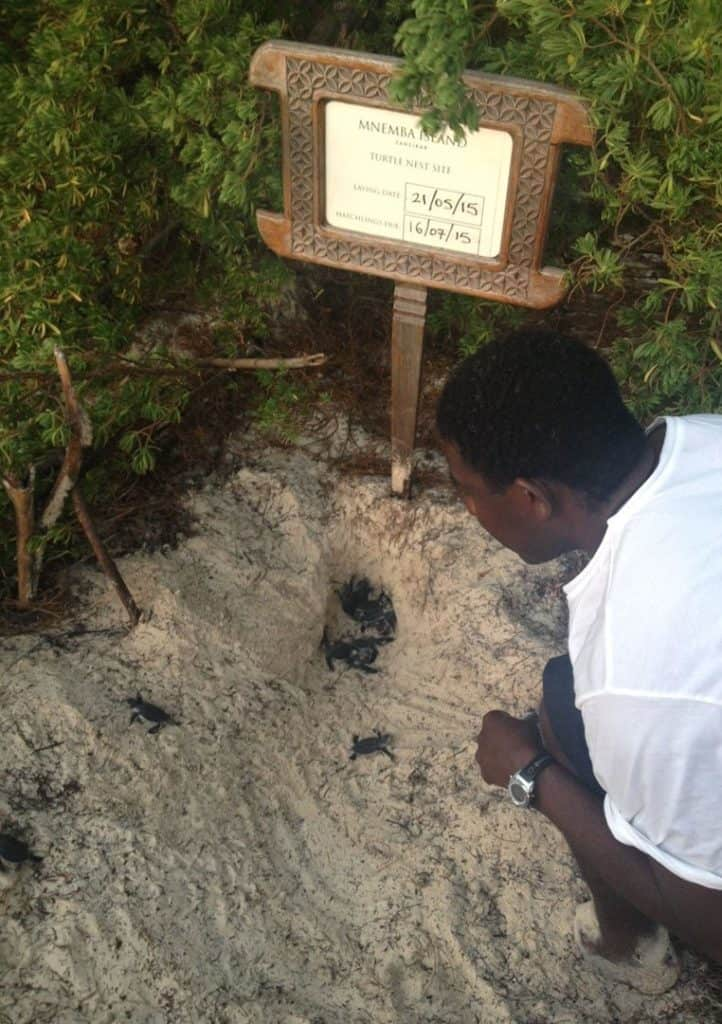 mnemba turtle hatchlings