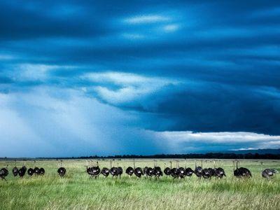 ostriches masai mara