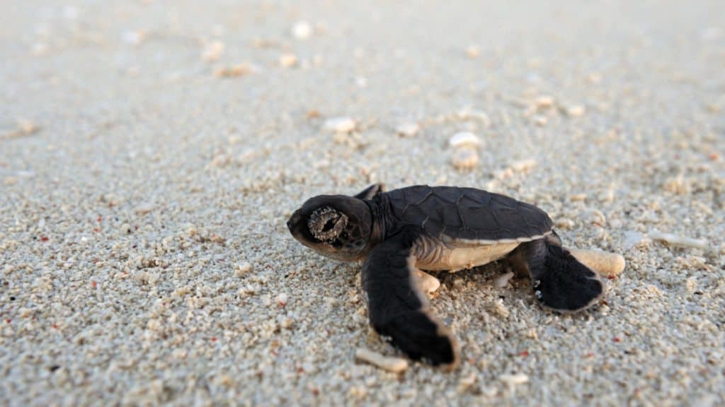 turtle hatchling on the beach towards the ocean