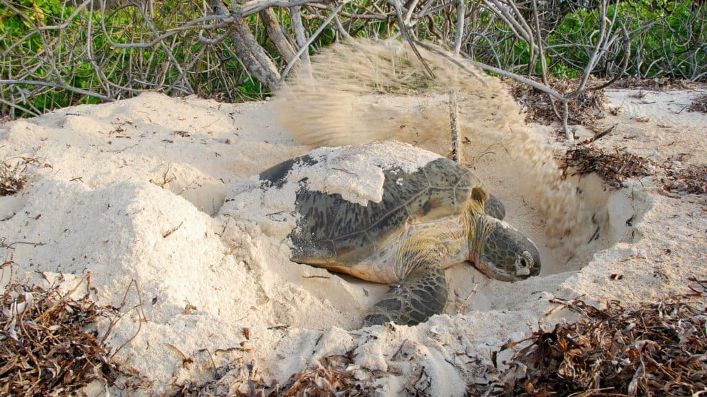 turtle laying eggs on andbeyond mnemba island