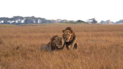Ongoing Lion Drama in the Busanga Plains | African Safari with Taga