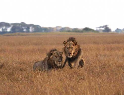 Ongoing Lion Drama in the Busanga Plains