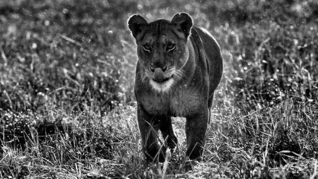 Ongoing Lion Drama in the Busanga Plains | African Safari with Taga