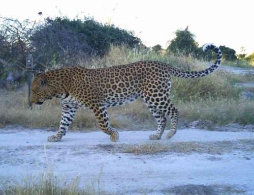 Surveying Africa's Large Carnivores – The Trans-Kalahari Predator Programme