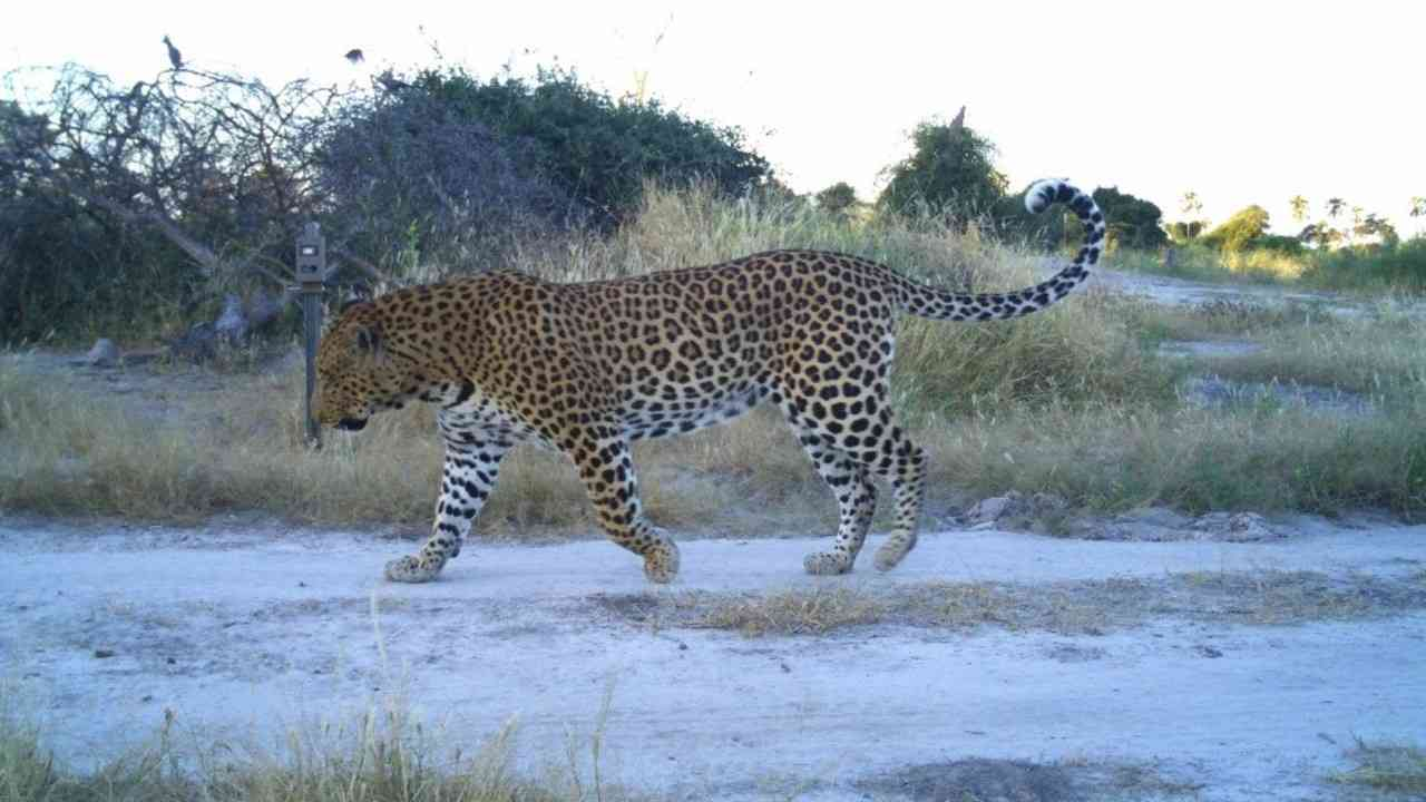 Surveying Africa's Large Carnivores – The Trans-Kalahari Predator Programme | African Safari with Taga