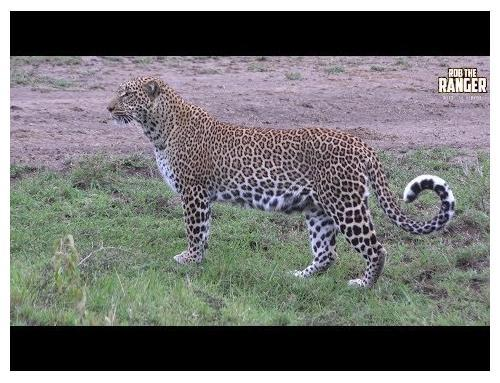 The Leopard Queen Of Kaboso
