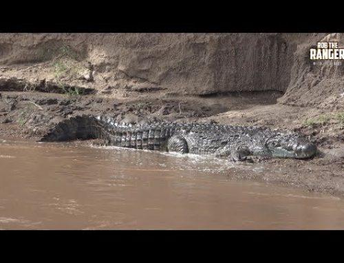 Monster Crocodiles Of The Mara River