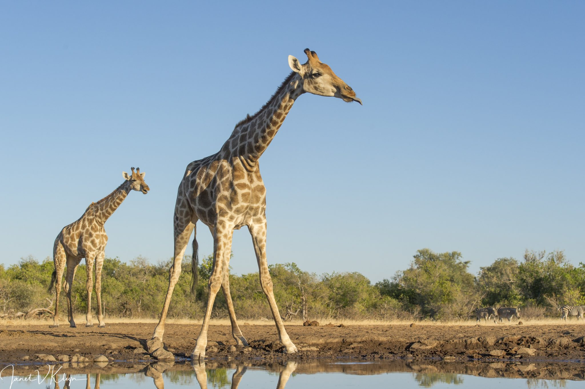 Being the tallest | African Safari with Taga