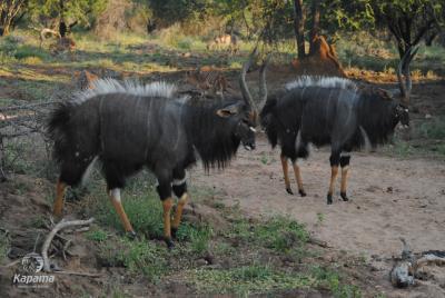 Nyala Dance   African Safari with Taga