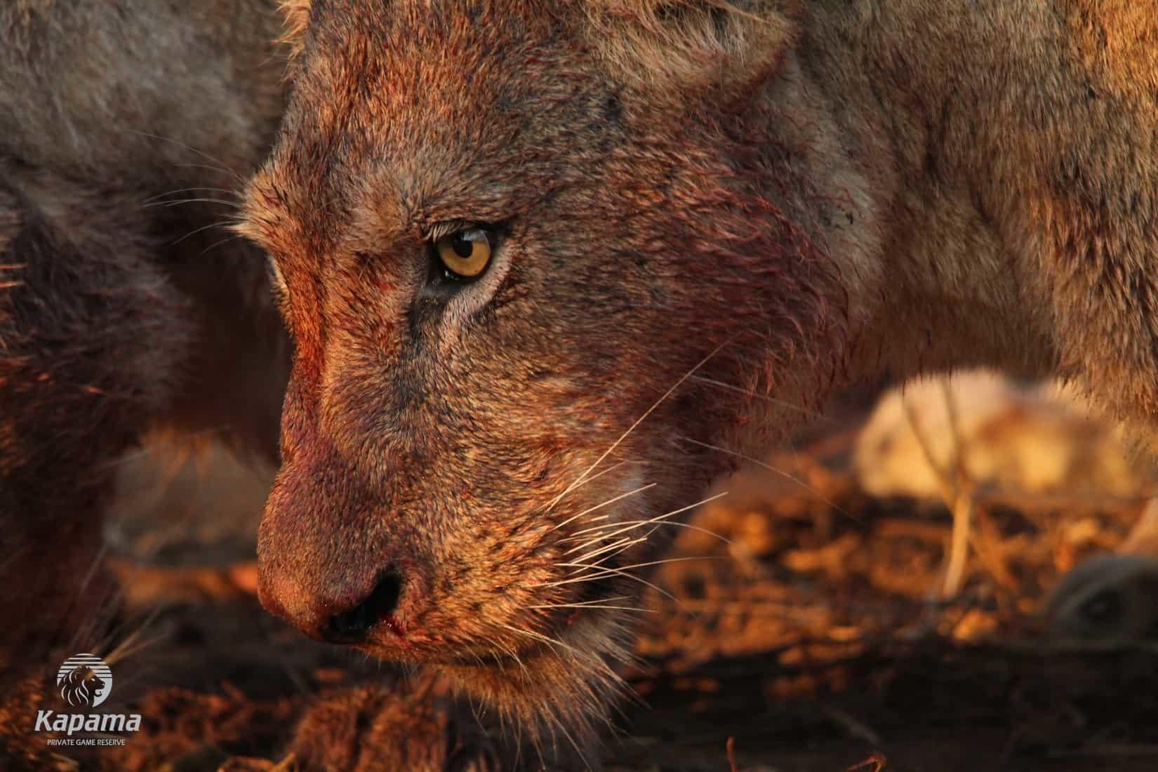 Lion on a Hunt | African Safari with Taga