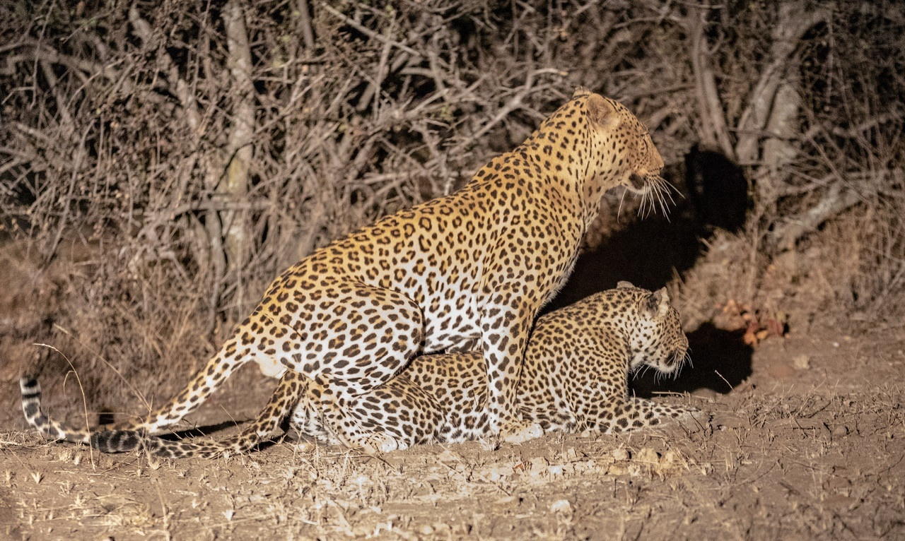 Mothoja's cub leaves the nest | African Safari with Taga